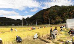 飯舘村「稲刈り(1)」